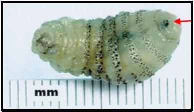 botfly larvae