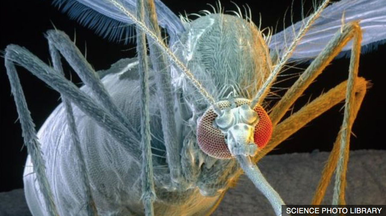 Caption: Aedes Aegypti enjoying a tasty meal Photo credit: National Science Foundation